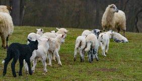 Cute lambs close up royalty free stock image