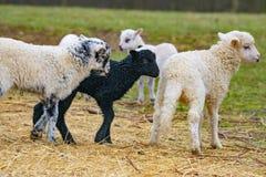 Cute lambs close up stock photos