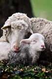 Cute lambs on field in spring. Cute moment between lamb and his mother on field in spring Stock Image