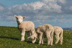 Cute lambs grazing on fresh grass Royalty Free Stock Photos