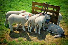 Cute lambs Royalty Free Stock Images