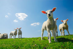 Free Cute Lambs In Spring Stock Image - 5156371