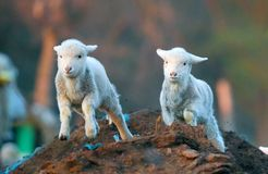 Cute lambs running at farm in spring time Stock Images
