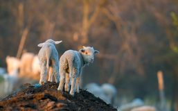 Cute lambs running at farm in spring time Royalty Free Stock Photography