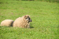 Cute lambs sleeping down in the meadow after a good meal Royalty Free Stock Image