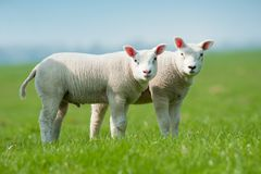 Cute lambs in spring royalty free stock photography