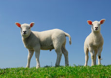Cute lambs in spring Stock Images