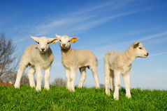 Cute lambs in spring Stock Image