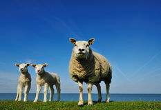 Cute lambs in spring Royalty Free Stock Photo