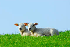 Cute lambs in spring royalty free stock photos