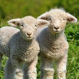 Cute lambs Stock Image