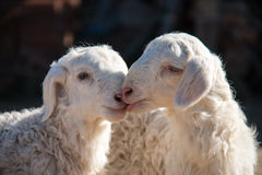 Cute Lambs. Two cute little lamb together stock image