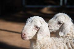 Cute Lambs Royalty Free Stock Photo