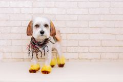 Cute lap dog with a creative hairstyle after grooming on white brick wall background. Grooming concept stock image