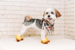Cute lap dog with a creative hairstyle after grooming on white brick wall background. Grooming concept royalty free stock photos