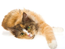 Cute Laperm calico on white background Stock Photo