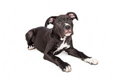 Cute Large Crossbreed Puppy Laying Down Stock Image