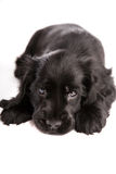 Cute laying cocker spaniel puppy. Isolated on white royalty free stock images