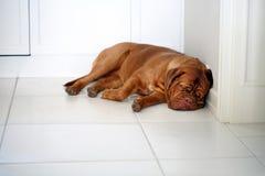 Cute lazy dog of Dogue De Bordeaux French Mastiff Stock Photo