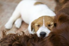 Cute lazy Jack Russell Terrier dog puppy sleeping Stock Photo