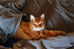 Cute Lazy Red Cat Stock Image
