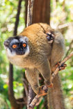Cute lemur with baby Stock Photography