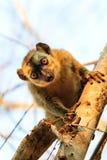 Cute lemur close up Stock Photo