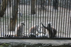 Cute lemur family in zoo  Royalty Free Stock Images