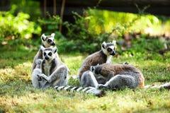 Cute lemur kata Royalty Free Stock Photos