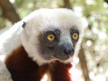 Cute lemur. National Park, Madagascar Royalty Free Stock Photos