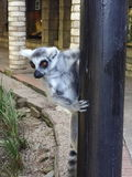 Cute lemur plays with a photographer Stock Image