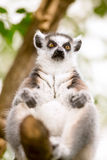 Cute lemur Stock Photo