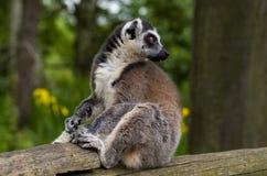 Cute lemur Royalty Free Stock Images