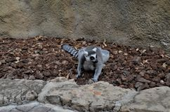 Lemur in Valencia. Cute Lemur in Valencia Biopark Royalty Free Stock Images