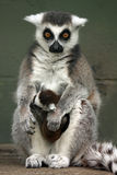 Cute Lemurs. Closeup of a Ringtailed Lemur with her baby Royalty Free Stock Photography