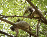 Cute lemurs on a tree in Madagascar wildlife scene Stock Photo