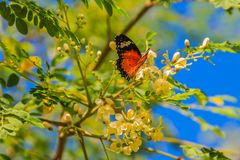 Cute leopard lacewing butterfly (Cethosia cyane), a species of h royalty free stock photo