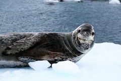 Cute Leopard Seal Stock Photos