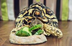Cute Leopard tortoise is feeding green cucumber Royalty Free Stock Image