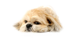 Cute Lhasa Apso. Image of a very cute Lhasa with puppy eyes on a white background Stock Photography