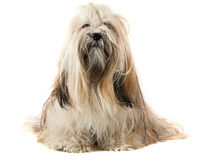 Cute Lhasa Apso dog Stock Photo