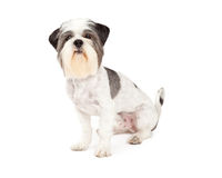Cute Lhasa Apso Dog Sitting. While looking directly into the camera Stock Images