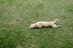 Cute light brown dog lay down on green grass stock images