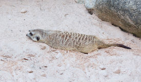 Cute light brown Meercat havinf the rest in the desert sun while Royalty Free Stock Photo