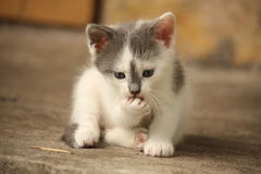 Cute light gray kitten washing his paw Stock Images