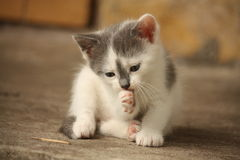 Cute light gray kitten washing his paw Royalty Free Stock Images