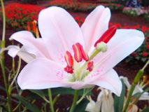 Lily in garden. First beautiful flower Stock Photos
