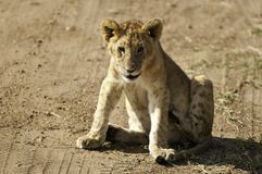 Cute lion cub Stock Images