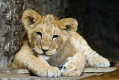 Cute lion cub. Close-up of a cute lion cub stock photos