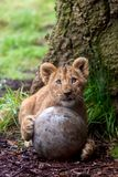 Cute lion cub with ball. Cute lion cub holding a ball with its paws at a Zoo royalty free stock photo